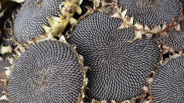 해바라기 열매에 대한 이미지 검색결과